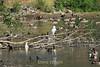 Canada Geese - Vasona Park (7) D