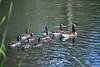 Canada Geese - Vasona Park (9) D