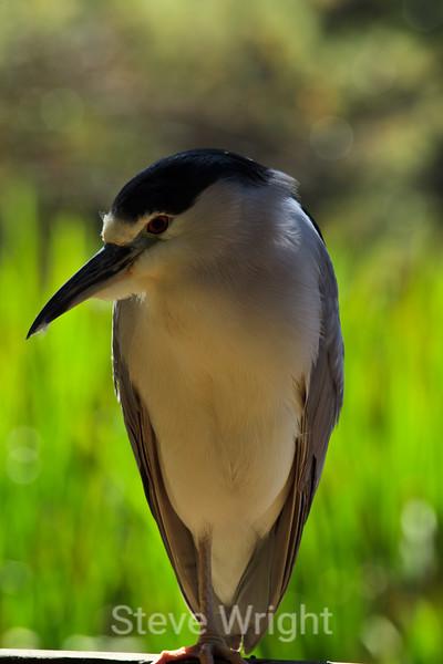 Black-Crowned Night Heron - SF Zoo (4940)