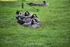 Canada Geese - Vasona Park (64) D