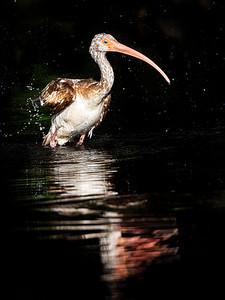 Ibis at Golden Pond Copyright 2021 Steve Leimberg UnSeenImages Com _DSC1003