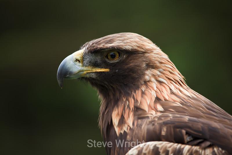 Golden Eagle - SF Zoo #6046