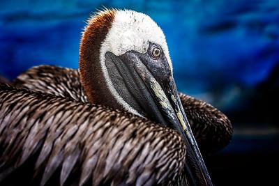 Galapagos Brown Pelican Copyright 2020 Steve Leimberg UnSeenImages Com _DSC0828