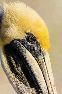 Pelican Profile III Copyright 2021 Steve Leimberg UnSeenImages Com _DSC6451 copy