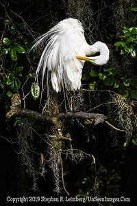 Egret on Tree Copyright 2019 Steve Leimberg UnSeenImages Com _A6I2148