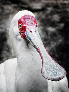 White Spoonbill Copyright 2021 Steve Leimberg UnSeenImages Com _DSC0890