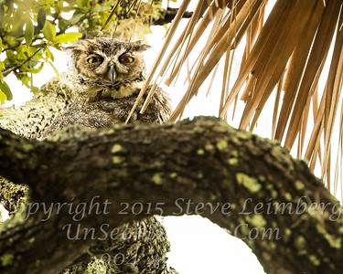 Baby Owl in Tree - Copyright 2016 Steve Leimberg - UnSeenImages Com _A6I6041