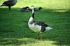Canada Geese - Vasona Park (60) D