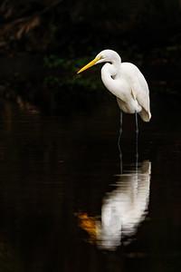 Great Egret Golden Pond Copyright 2020 Steve Leimberg UnSeenImages Com _DSC7176