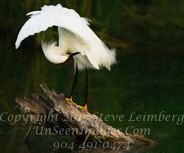 Egret Preening Wings Open II - PAINTING  - Copyright 2016 Steve Leimberg - UnSeenImages Com _Z2A9904