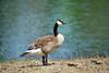 Canada Geese - Vasona Park (32) D