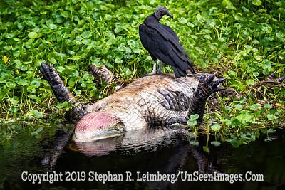 Vulture and Gator Copyright 2019 Steve Leimberg UnSeenImages Com _A6I0237