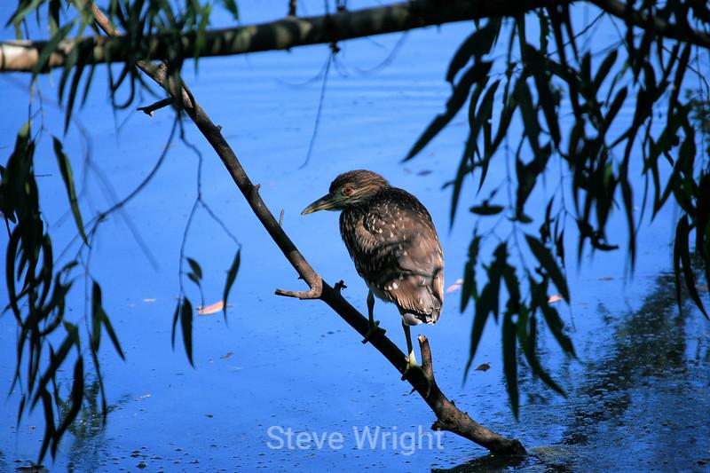 Black-Crowned Night Heron - Vasona (4) D