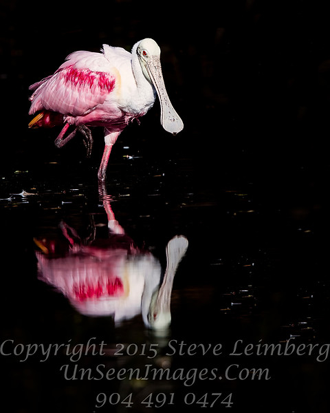 Really Red Roseate Spoonbill - Copyright 2016 Steve Leimberg - UnSeenImages Com _Z2A5669