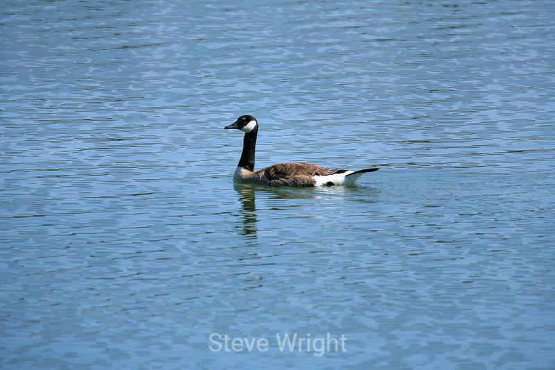 Canada Geese - Vasona Park (25) D