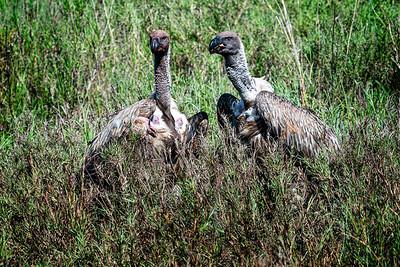 Two Vultures Tanzania Copyright 2020 Steve Leimberg UnSeenImages Com _DSC0439