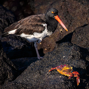 American Oystercatcher Eying Lunch  Copyright 2020 Steve Leimberg UnSeenImages Com  _DSC6633