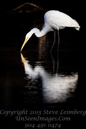Great Egret Catching Fish - Copyright 2016 Steve Leimberg - UnSeenImages Com _Z2A4115