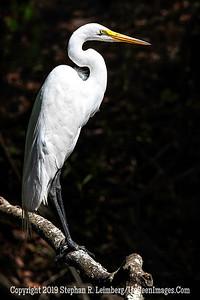 Egans Creek Egret Copyright 2019 Steve Leimberg UnSeenImages Com _A6I3733