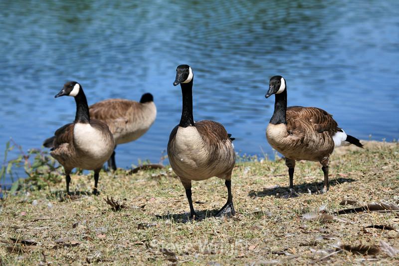 Canada Geese - Vasona Park (35) D