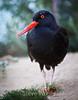 Black Oystercatcher #7040
