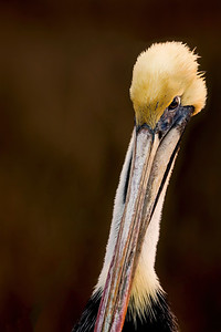 Charlie's Pelican Up Close _  Copyright 2020 Steve Leimberg UnSeenImages Com H1R7318