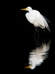 Great Egret in Golden Pond Copyright 2021 Steve Leimberg UnSeenImages Com  _DSC1113