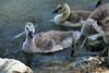 Canada Geese - Vasona Park (50) D