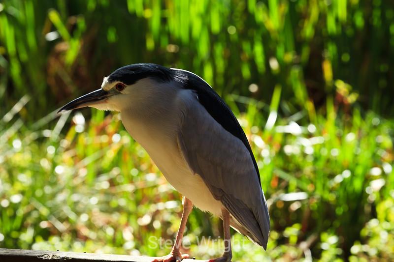 Black-Crowned Night Heron - SF Zoo (4944)