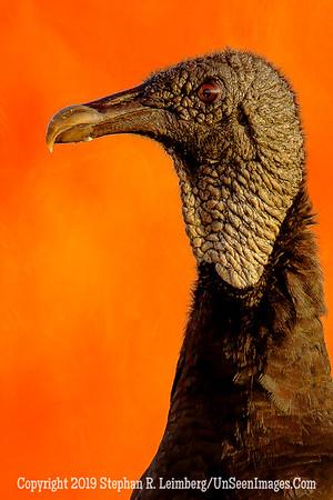 Vulture in Red Sky _H1R5647