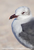 Gull on Main Beach - Copyright 2015 Steve Leimberg - UnSeenImages Com _M1A9769