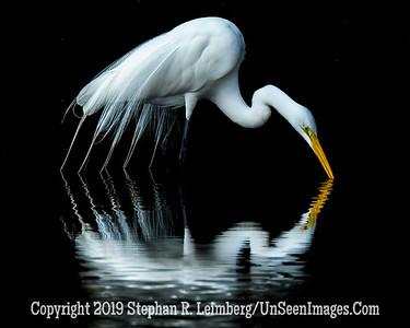 Egret Drinking H _H1R2581