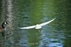 Snowy Egret - Vasona Park (3) D