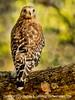 Hawk - March 2015  - Copyright 2015 Steve Leimberg - UnSeenImages Com _M1A8595