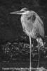 Heron B&W - Copyright 2014 Steve Leimberg - UnSeenImages Com _M1A3740