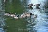 Canada Geese - Vasona Park (10) D