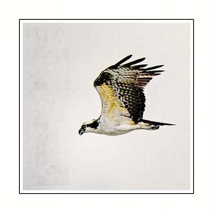 Osprey in Flight Copyright 2021 Steve Leimberg UnSeenImages Com DSC05174 copy