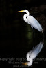 Egret in Darkness - Copyright 2016 Steve Leimberg - UnSeenImages Com _Z2A5734