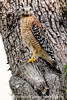 Hawk - Copyright 2015 Steve Leimberg - UnSeenImages Com _M1A8502