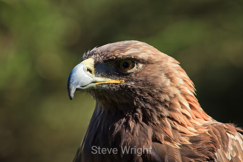 Golden Eagle - SF Zoo (5098)