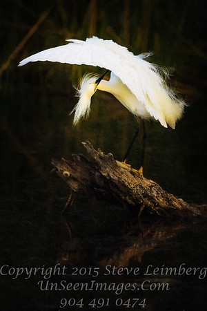 Egret Preening Wings Open - PAINTING - Copyright 2016 Steve Leimberg - UnSeenImages Com _Z2A9930