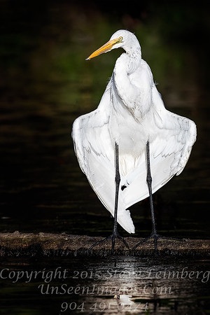Great Egret in Love Form - Copyright 2017 Steve Leimberg UnSeenImages Com _A6I4900