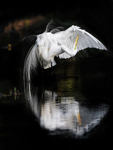 Great Egret Wings Up Copyright 2021 Steve Leimberg UnSeenImages Com _DSC3375