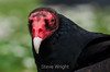 Turkey Vulture - SF Zoo #6116-2