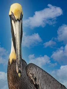 Pelican Pete Copyright 2021 Steve Leimberg UnSeenImages Com_DSC5356