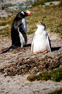 Two Penguins One Squaking Copyright 2020 Steve Leimberg UnSeenimages Com _DSF9900