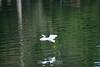 Snowy Egret - Vasona Park (1) D