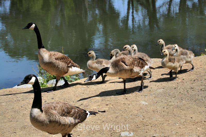 Canada Geese - Vasona Park (65) D