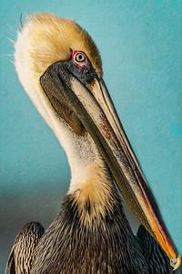 Pelican Profile Copyright 2021 Steve Leimberg UnSeenImages Com _DSC7141 copy