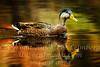 Duck - Copyright 2016 Steve Leimberg - UnSeenImages Com _A6I4938